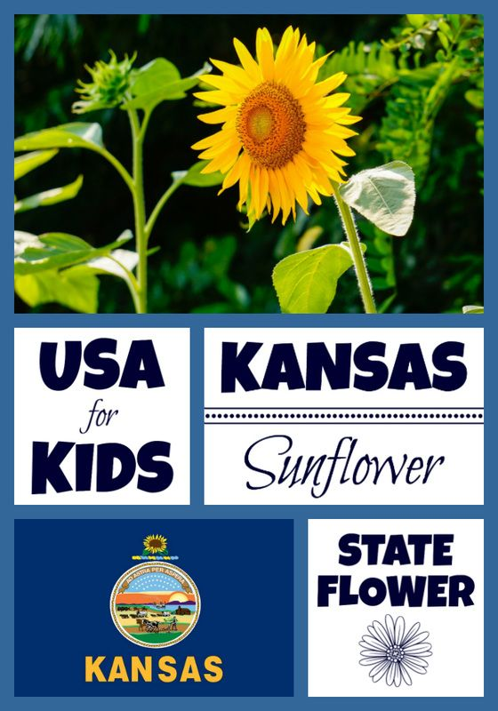 Kansas State Flower Kansas State Flower Kansas Facts Kansas Day