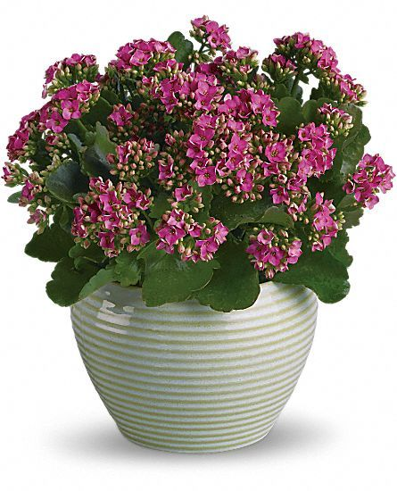 Kalanchoes Como Cuidar Flores Cultura Mix Flor Pinterest