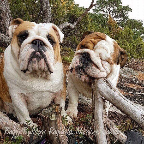 Baggy Bulldogs Bulldog Puppies English Bulldog Puppies