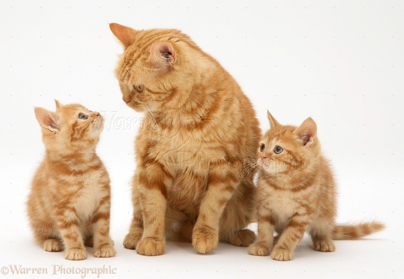 Mother Cat And Kittens Wp11781 Red Tabby British Shorthair