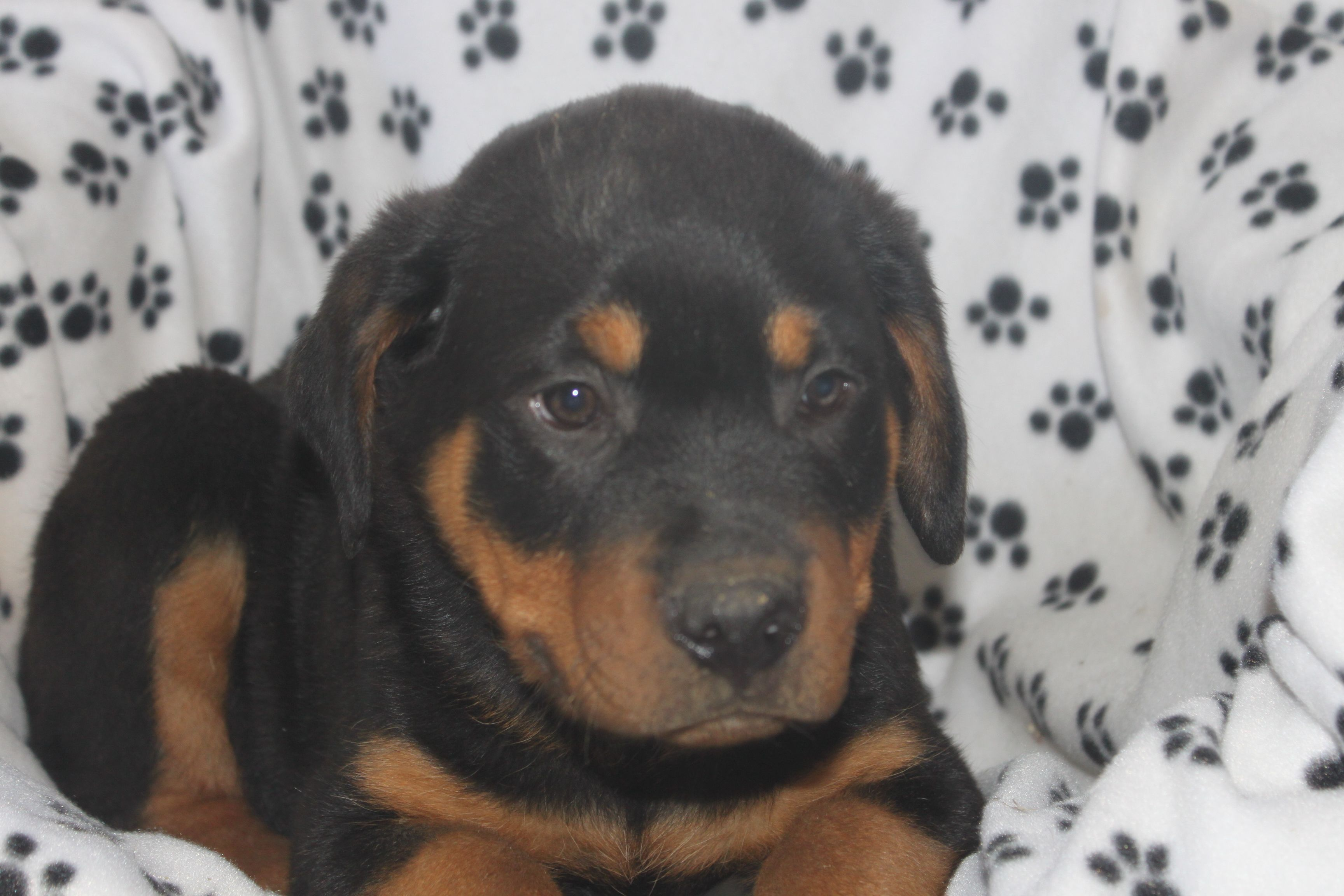 Rottweiler Puppy This Is A 12 Week Old Rottweiler Puppy At Http