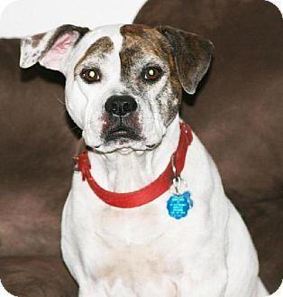 Dallas, TX - American Bulldog/American Pit Bull Terrier Mix. Meet Molly, a dog for adoption. http://www.adoptapet.com/pet/11447426-dallas-texas-american-bulldog-mix