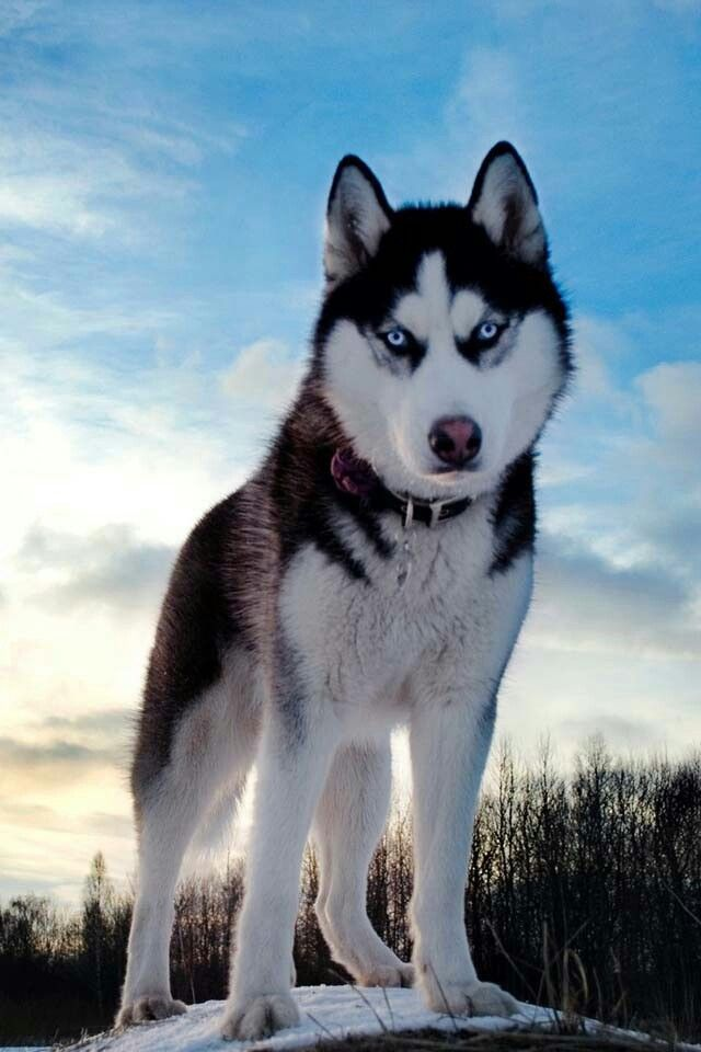 Exactly What I Think My Husky Its Gonna Look Like Dogs Beautiful Dogs Cute Husky
