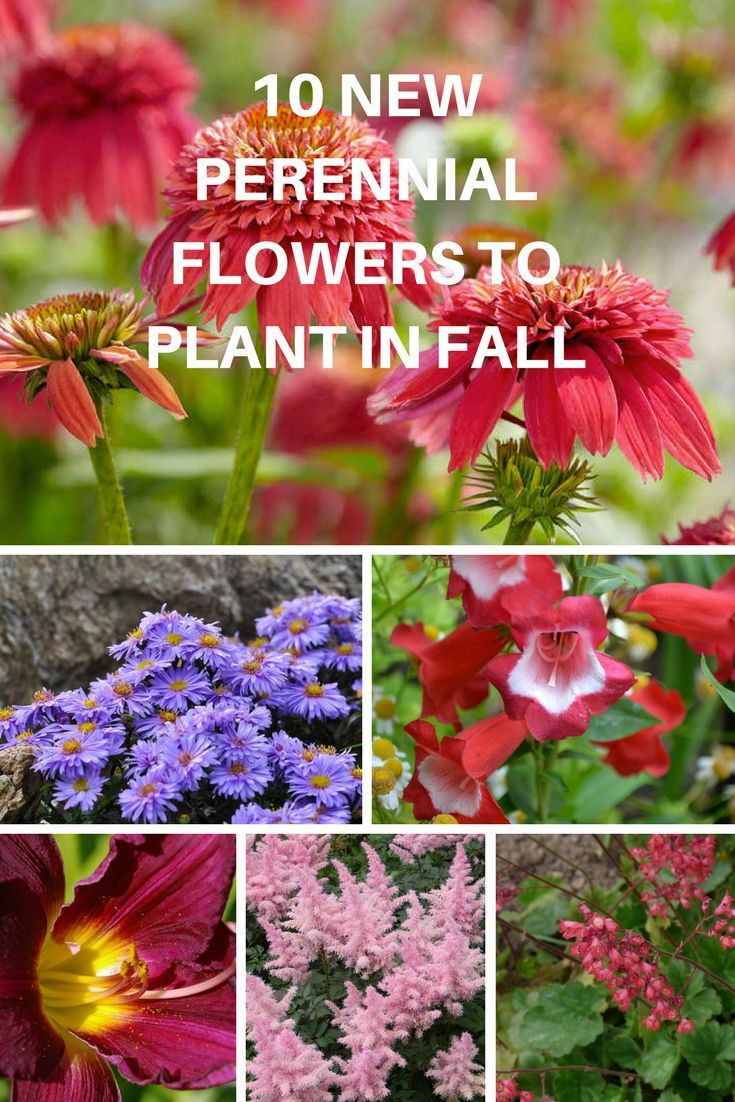 10 New Perennial Flowers To Plant This Fall Pinterest Aster