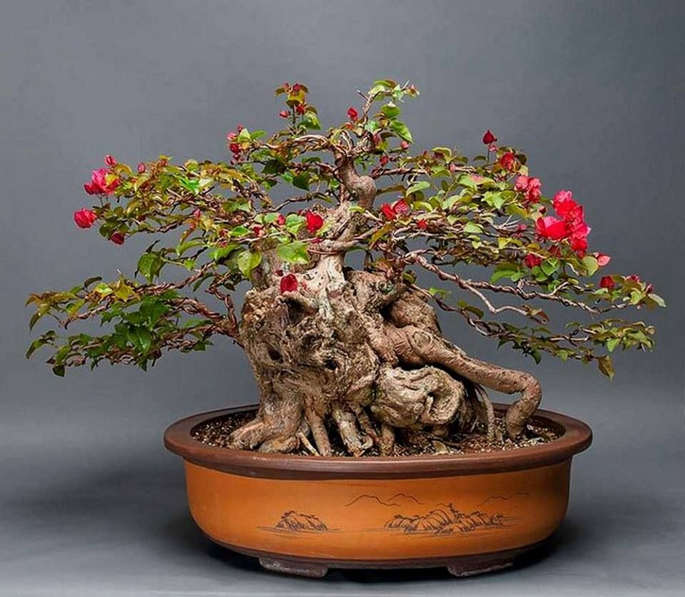 bonsai bonsai shohin bonsai penjing pinterest. Black Bedroom Furniture Sets. Home Design Ideas