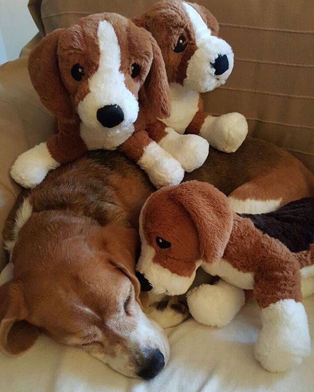 Pin By Heidi Draehn On Beagles Beagle Puppy Beagle Cute Animals