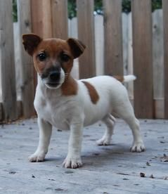 Short Jack Russell puppies for sale. Jack Russell Terrier puppy breeder with Jack Russell Terrier puppies for sale.