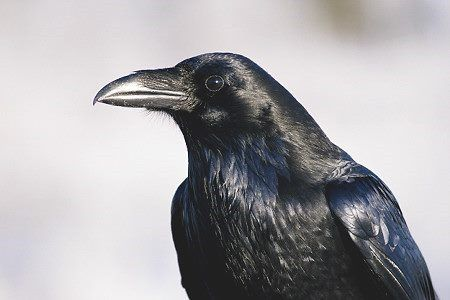 Crowtotem Symbolism Crows Totems And Power Animal