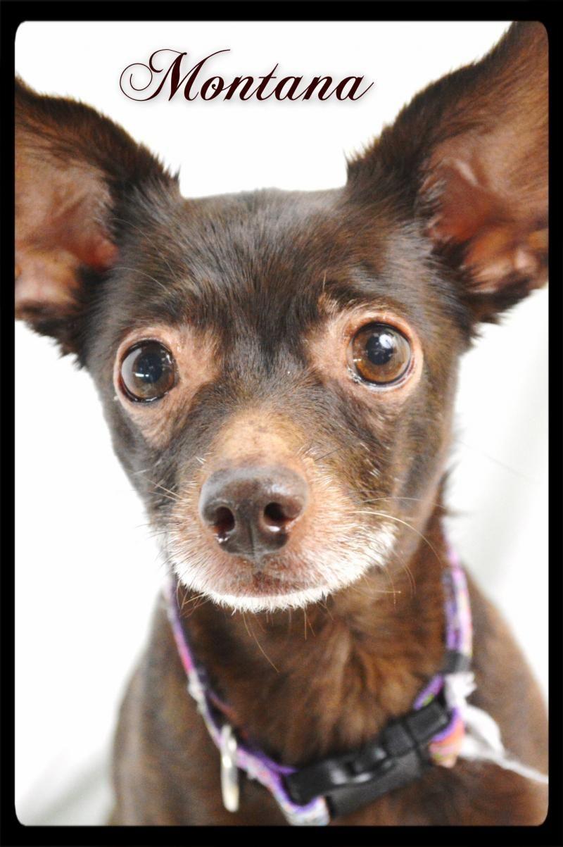 Adopt Montana On Chihuahua Dogs Chihuahua Mix