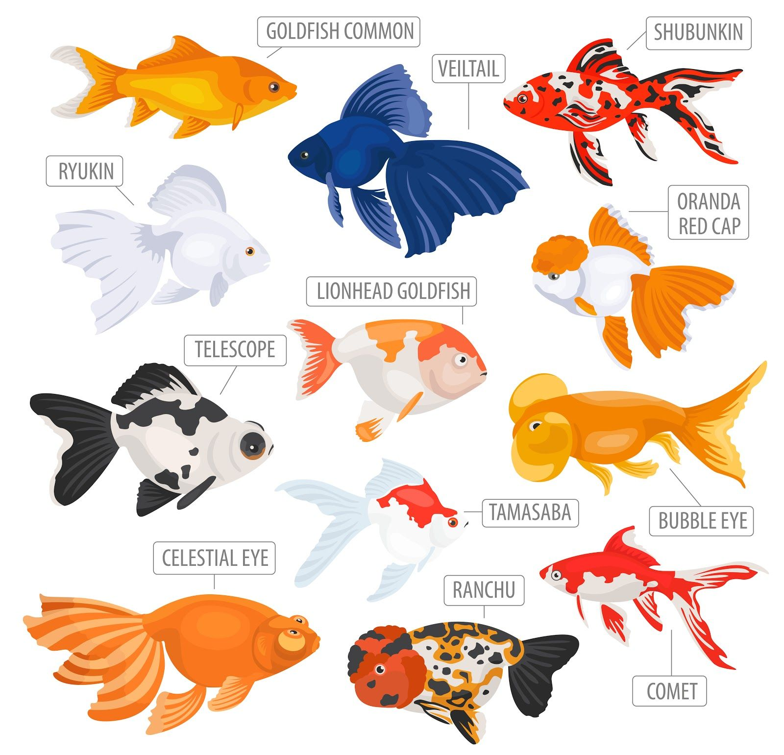 Poisson Rouge Bassin Extérieur goldfish body types - the different goldfish body types