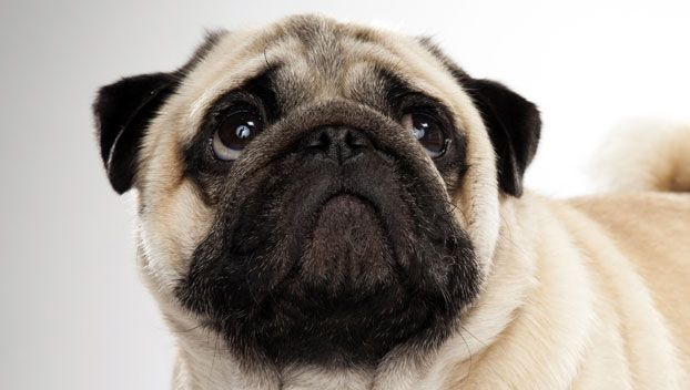Pug Dog Breed Selector Dog Breed Selector Dog Breeds Pugs
