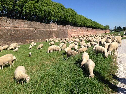 In arrivo a Ferrara il gregge che pascolerà nel sottomura per circa un mese
