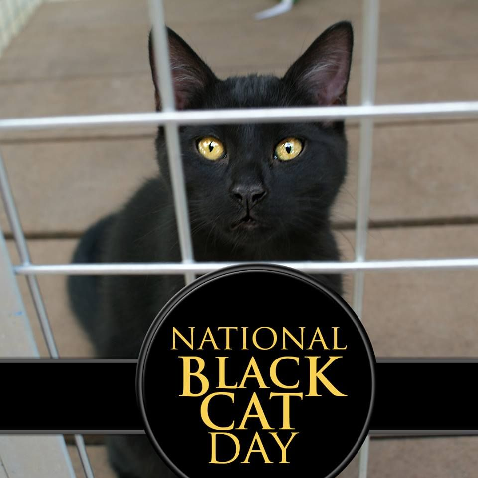 National Black Cat Day With Images Black Cat Day National Black Cat Day Black Cat