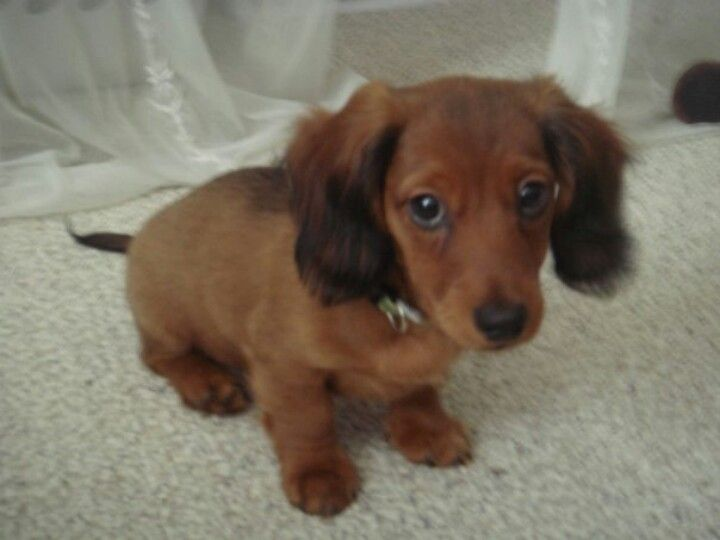 Hershey Kiss When He Was 2 Months Old Dachshund 2 Month Olds