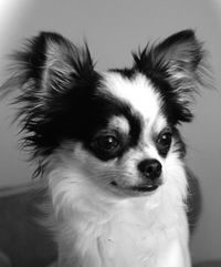Chihuahua So Adorable My Animal Loves Chihuahua Puppies