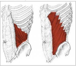 the internal oblique muscle (left) is a muscle in the abdominal, Human Body