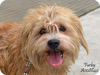 Bedminster Nj Lexi S Angels Shaggy Dog Nj Ny Cairn Terrier