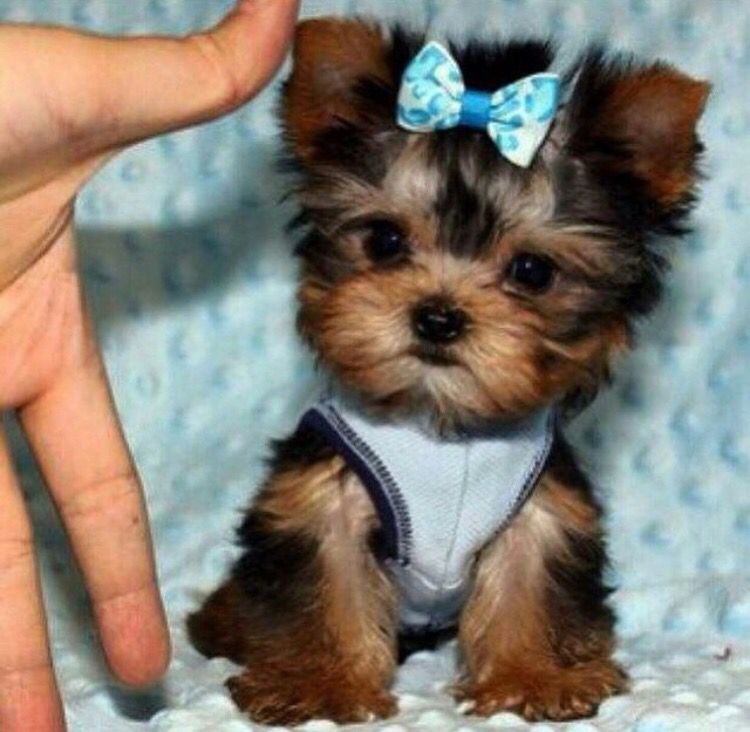Pin By Kamilah On Cuteness Overload Teacup Yorkie Puppy Yorkie