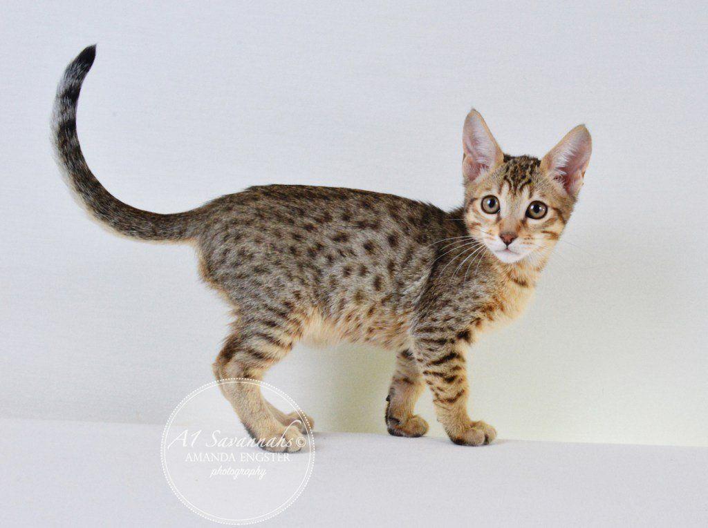 A1 Savannahs On With Images Savannah Kitten Kittens Savannah Chat