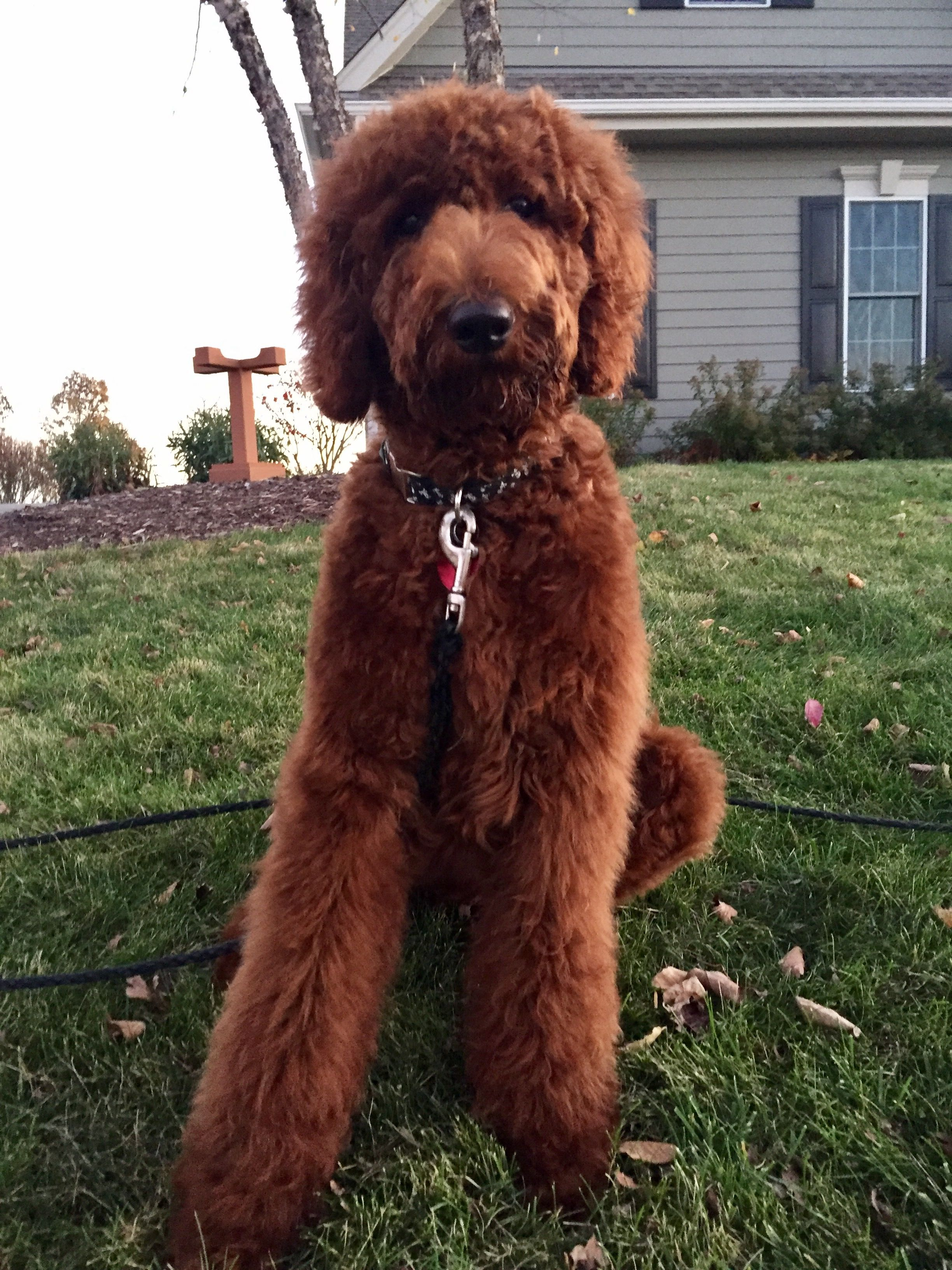 11 2016 Simon S First Haircut Red Standard Poodle Standard