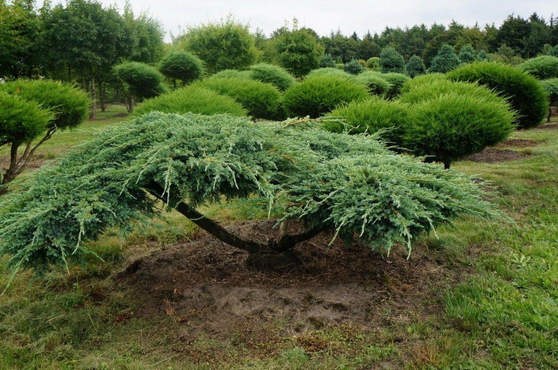 Садовые бонсаи своими руками фото 954