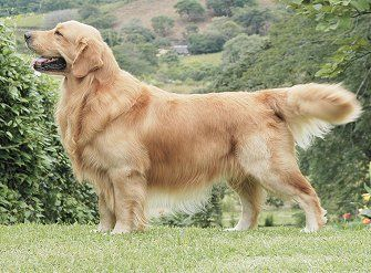 Golden Retriever Dog Breed Great Family Pets Love Water And Nice