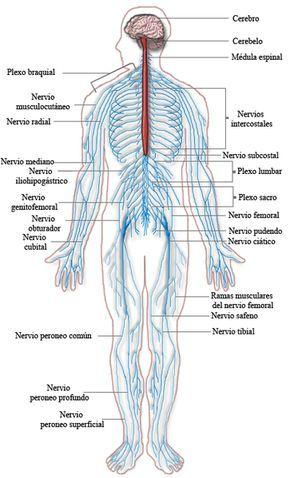 Pin En Sistema Nervioso Periferico