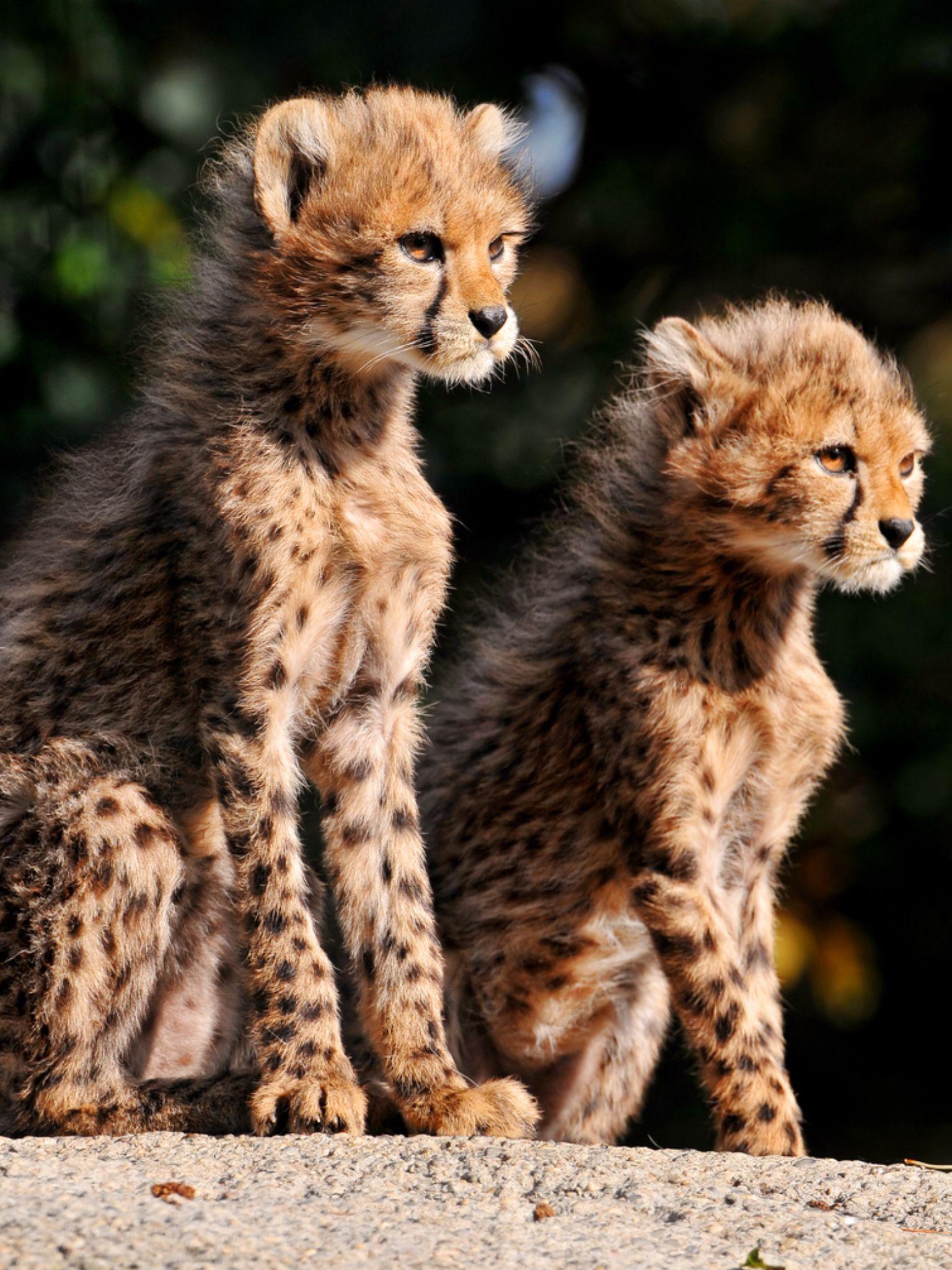 Pin by Meg Magda Rafes on Serval cats Cheetah cubs, Big