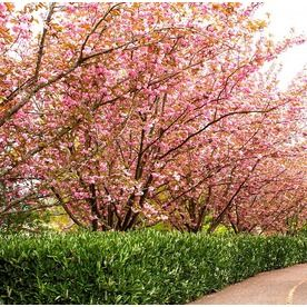 Monrovia 3 58 Gallon Pink Kwanzan Cherry Flowering Tree In Pot With Soil L1023 066915 Flowering Cherry Tree Potted Trees Flowering Trees