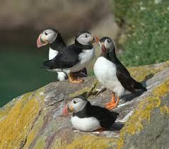 Puffins Rathlin Island Northern Ireland