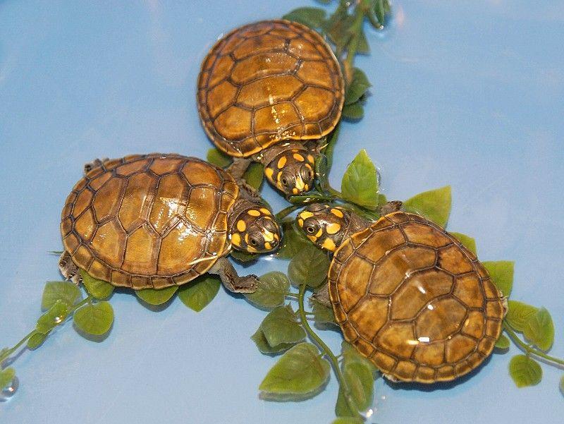 Desert Tortoise (Gopherus agassizii Cooper) (juv) Desert