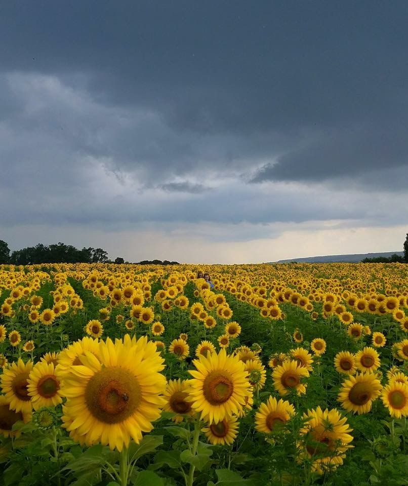 Pin by Judy Miller on pictures Sunflower fields