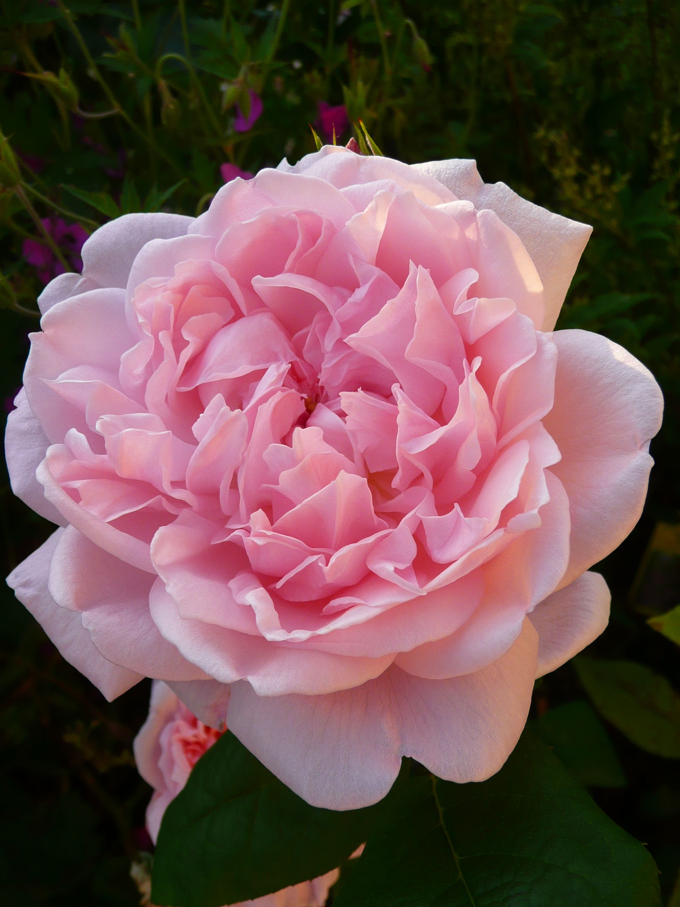 eglantyne rosier arbustif aux grandes fleurs tr s pleines. Black Bedroom Furniture Sets. Home Design Ideas