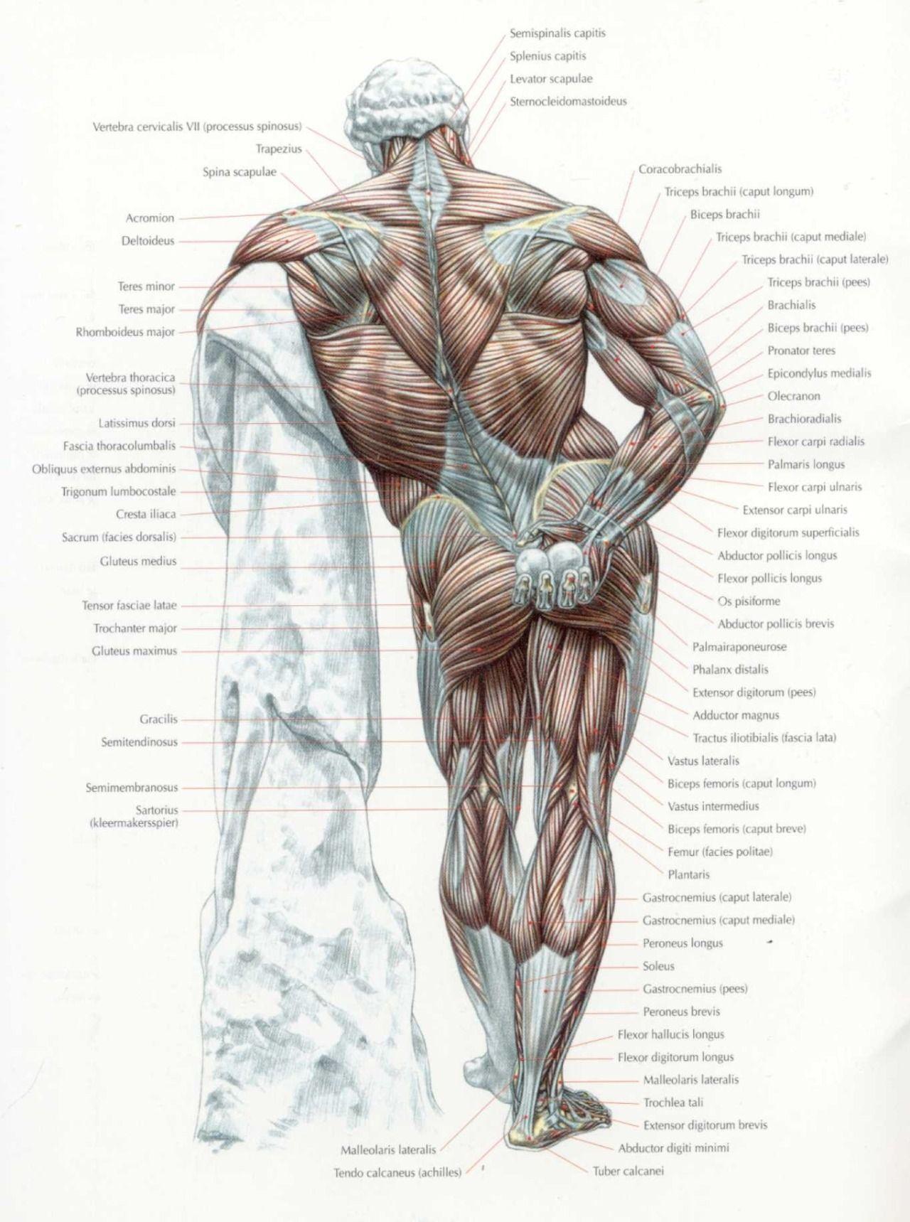 Fein Processus Spinosus Zeitgenössisch - Menschliche Anatomie Bilder ...