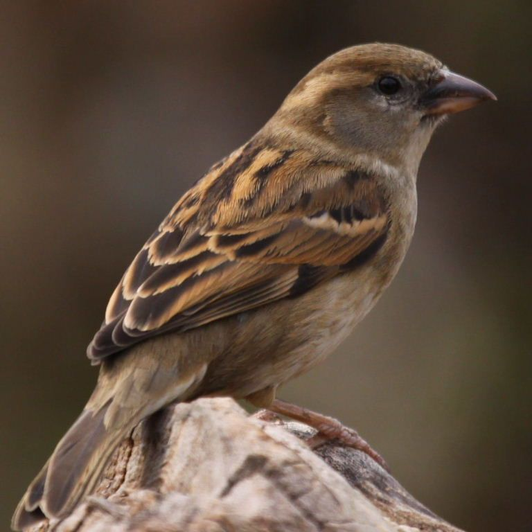 House Sparrow Bird | House Sparrow female | sparrows ...