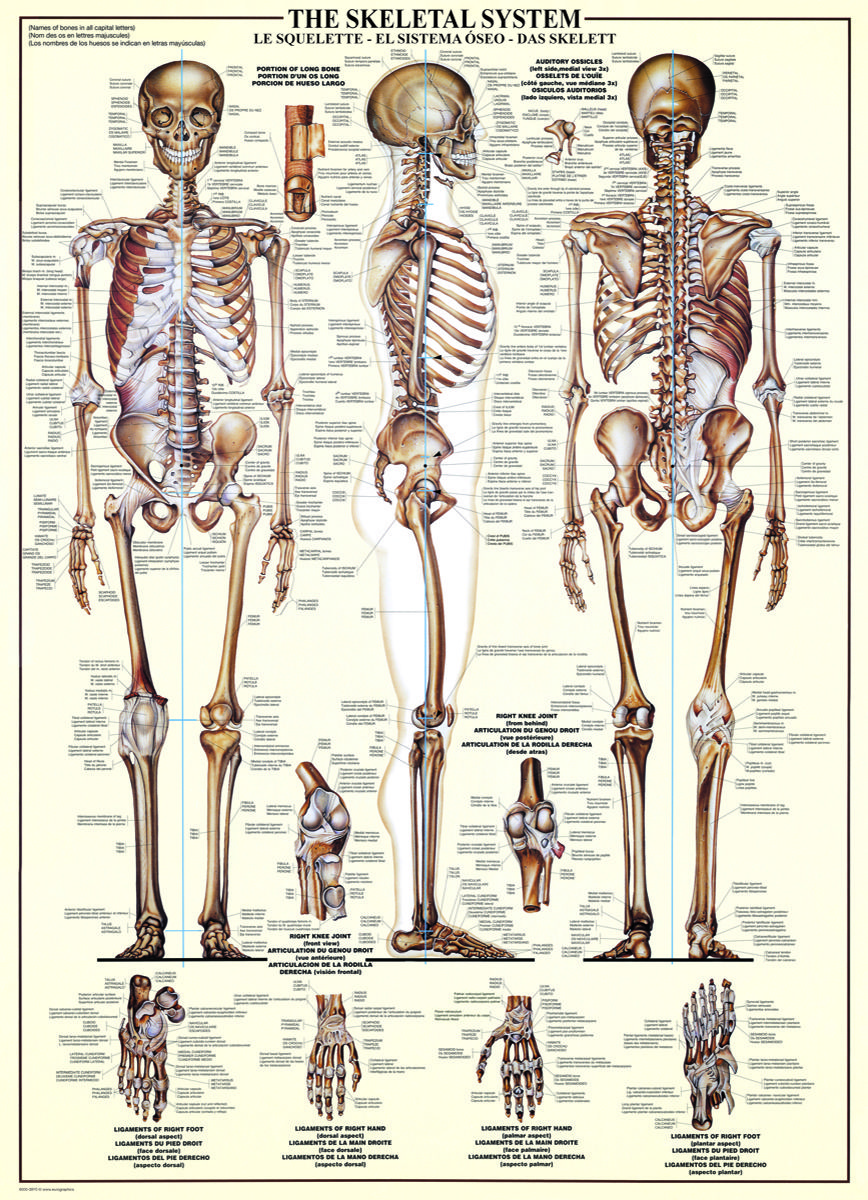 Eurographics Skeletal System Chart 1000 Piece Puzzle The Human