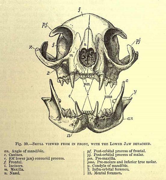 File:Cat skull viewed from front.jpg | Animals | Pinterest | Cat skull