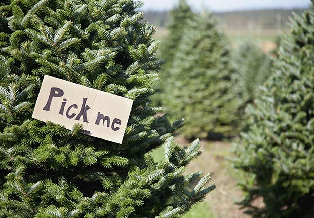 Learn About Civil Rights And Baby Boomer History Types Of Christmas Trees Best Real Christmas Tree Christmas Tree Lots