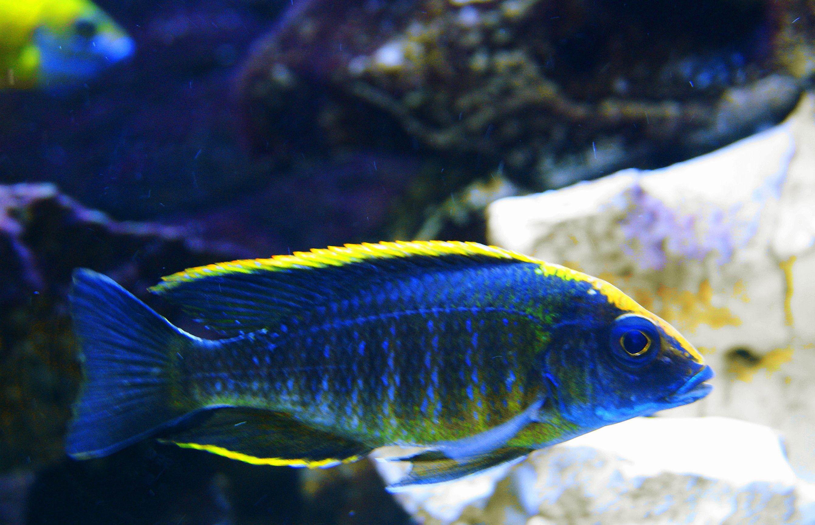 A Maylandi Sulfur Head Peacock African Cichlids Cichlids Tropical Fish Aquarium