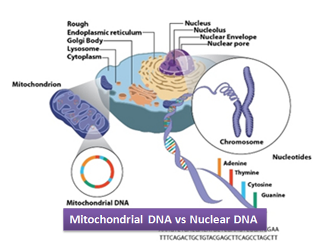 Cell Diagram Labeled With Dna Car Wiring Diagrams Explained