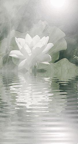White lotus flower reflections animated gif img3745 large 2 white lotus flower reflections animated gif img3745 large 2 mightylinksfo