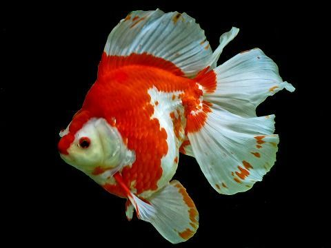 Fancy Goldfish Gold Fish Pinterest Goldfish Ryukin Goldfish And Red And White Goldfish Ryukin Goldfish Cool Fish