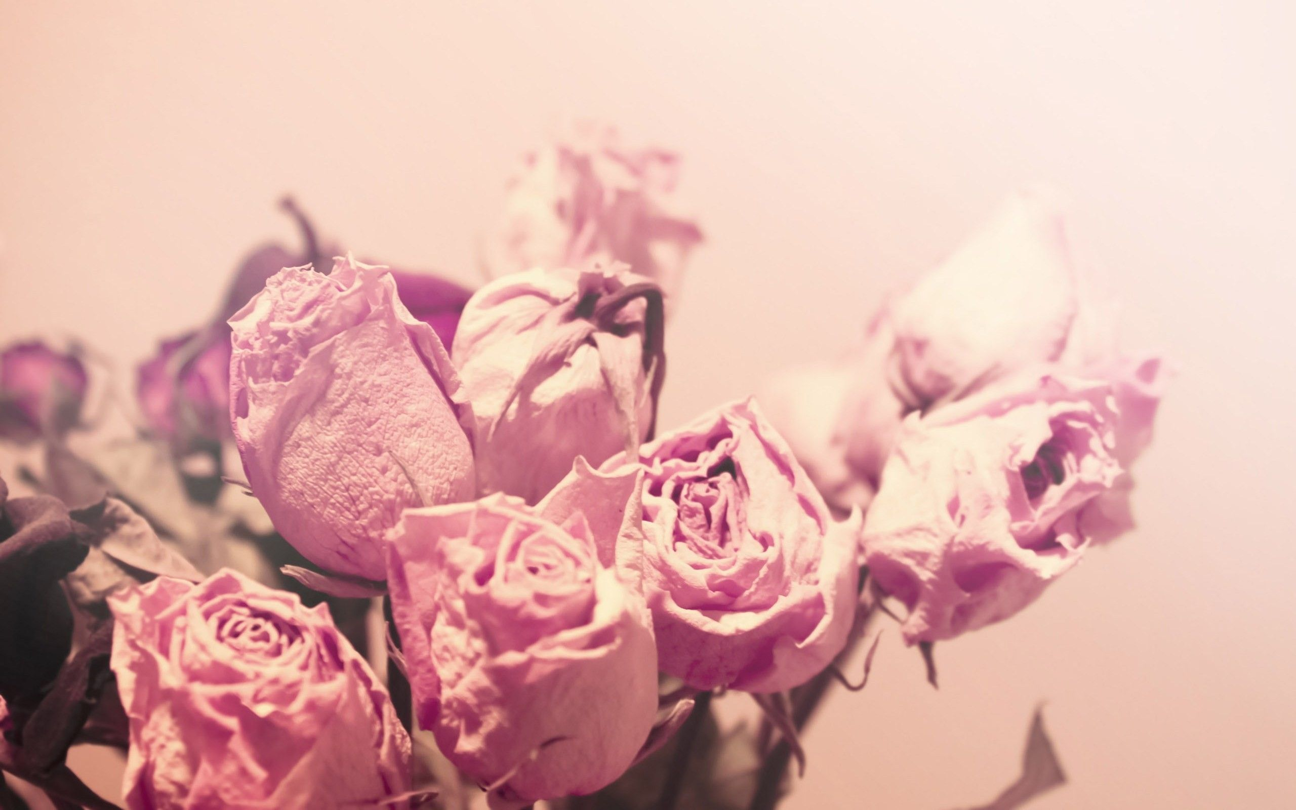 Soft Light Pink Roses