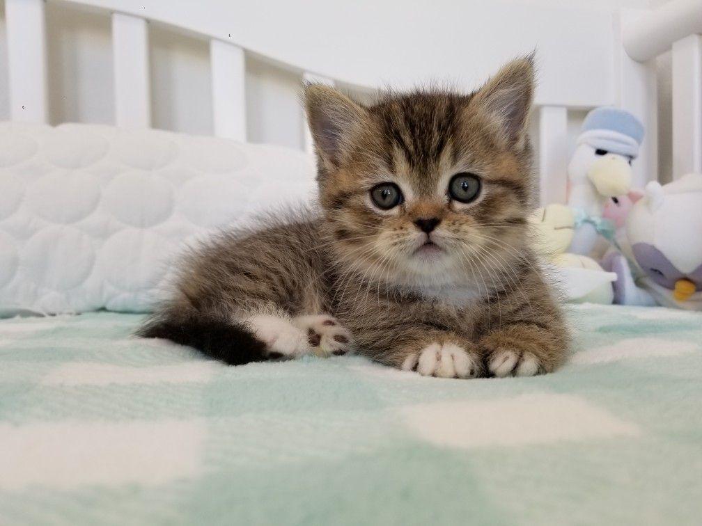 Shaded Golden White Bicolor Kitten Kittens Cutest Kittens And Puppies Kittens