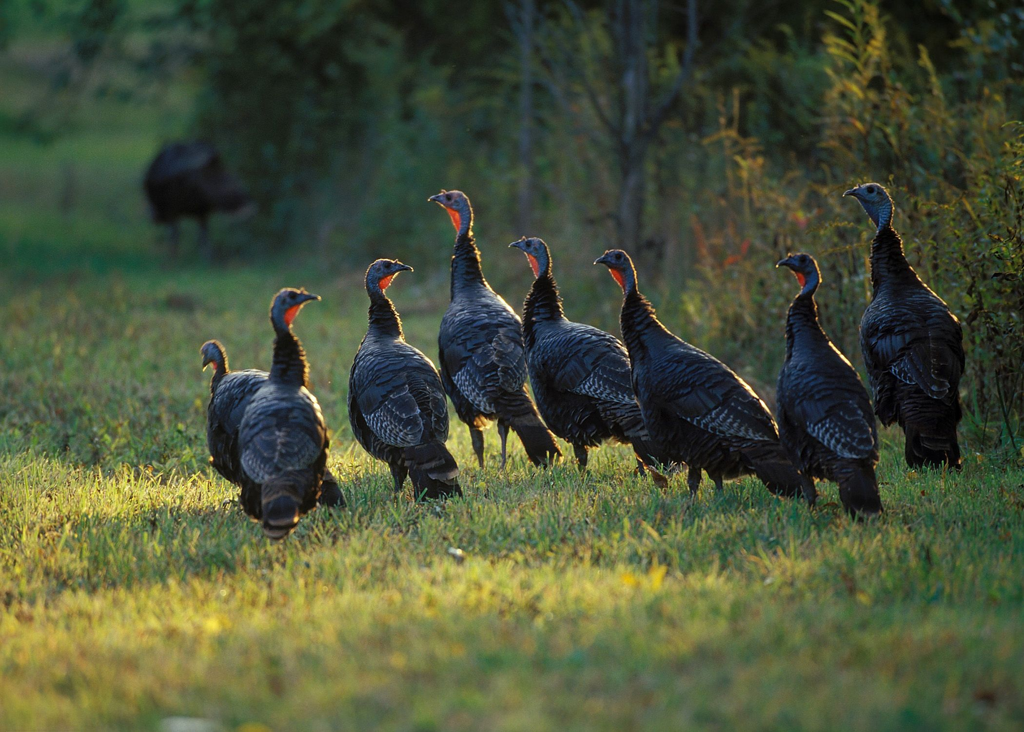 What is a good intro to a term paper on the national wild turkey federation?