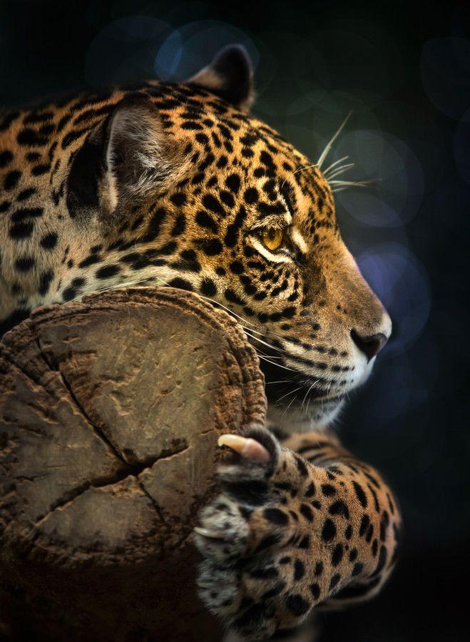 500px / Jaguar by Anek S | Животные, Дикие животные и ...