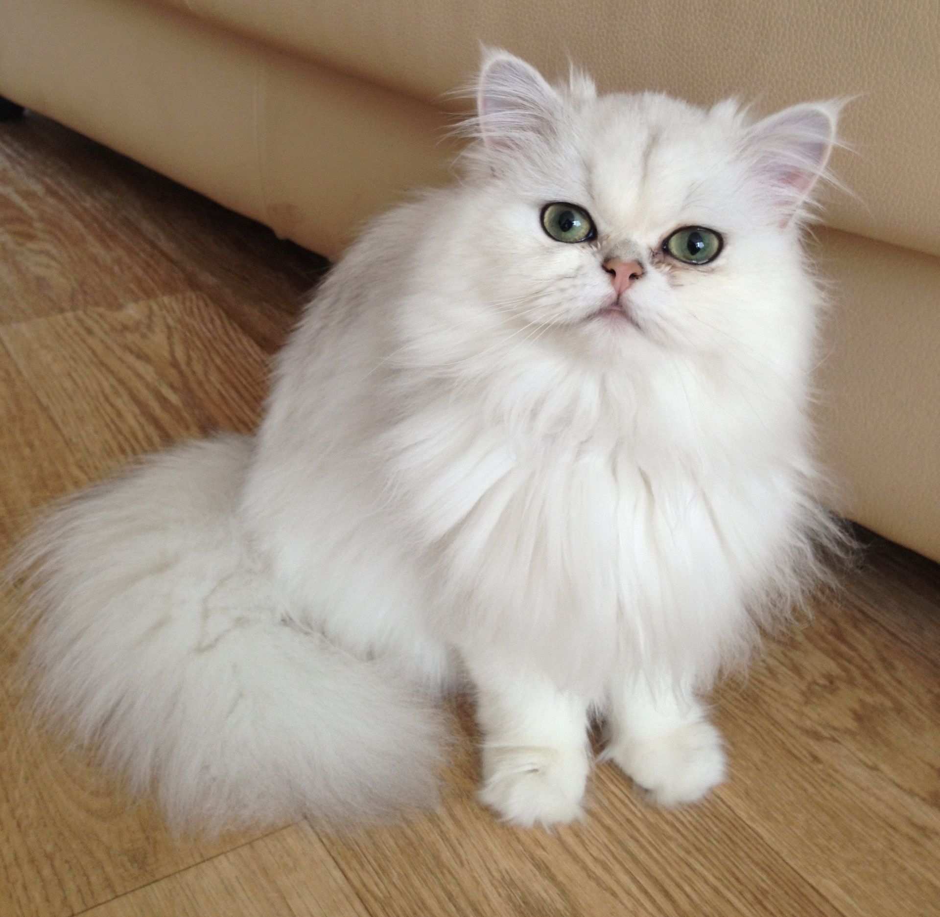 Chinchilla longhair This is the most elegant Persian cat Just