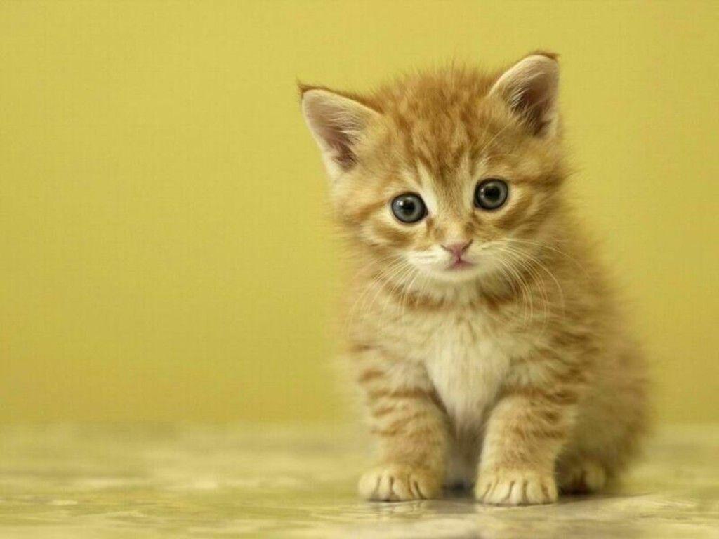 Free Cute Kitten Wallpapers Wallpaper HD Wallpapers