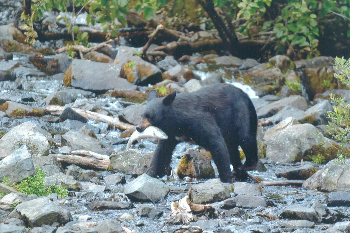 Black bear alaska adventure photographer adventure