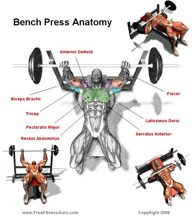 Freefitnessguru Bench Press Anatomy Bench Press Workout Dumbbell Workout Routine Bench Press